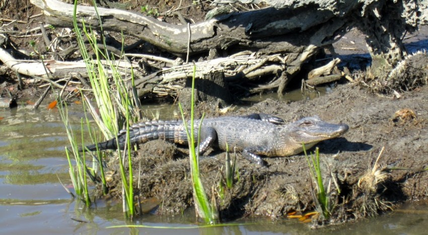 G is for Gators: On the Lookout for Them in the Big Easy