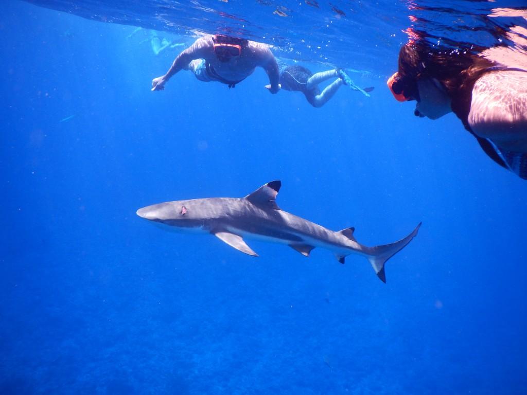 snorkeling with sharks in bora bora