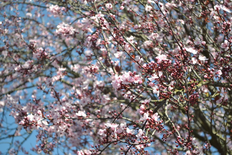 cherry blossoms napa valley