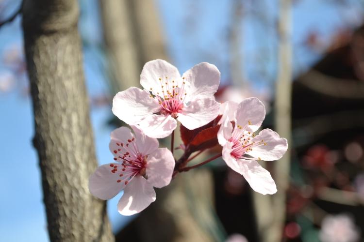 cherry blossom v. sattaui