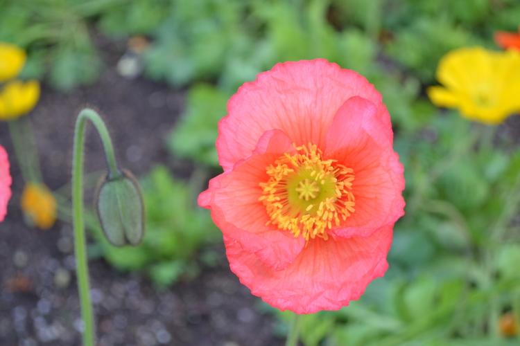 pink poppy napa