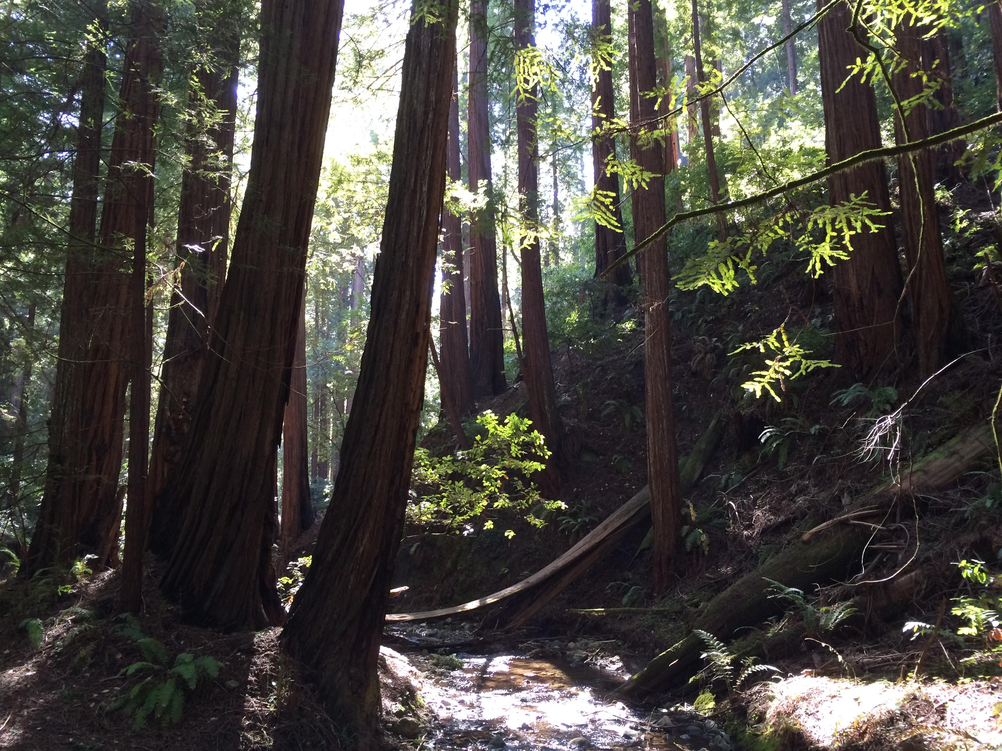 muir woods marin california