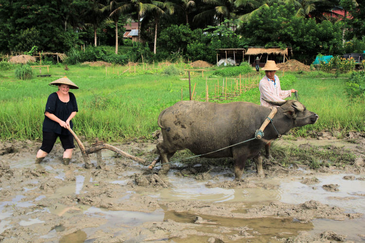 Things to do in Luang Prabang: Plough rice fields with water buffalo