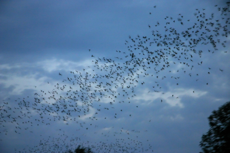 bats in austin texas