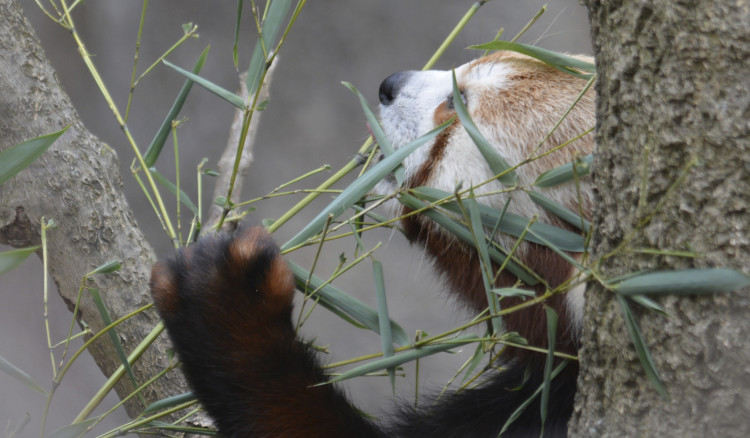 red panda national zoo Washington DC