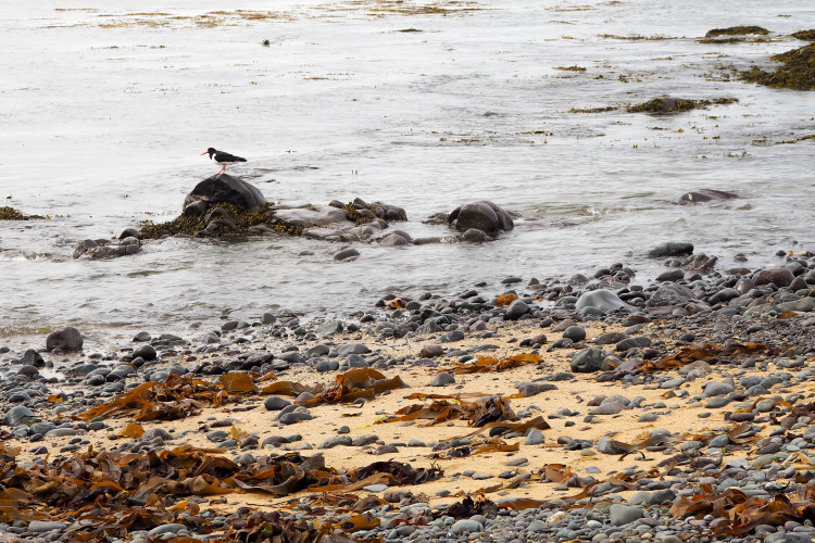Stops on the Snaefellsness Peninsula Iceland: Seal Colony at Black Sand Beach near Ytri-Tunga Farm