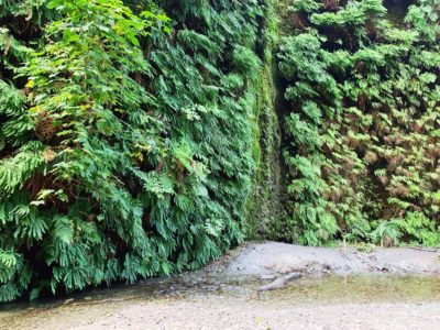 Hiking the Fern Canyon Trail: California's Leafy Green Paradise