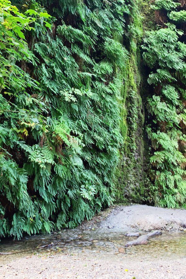 Hiking the Fern Canyon Trail: California's Leafy Green Paradise