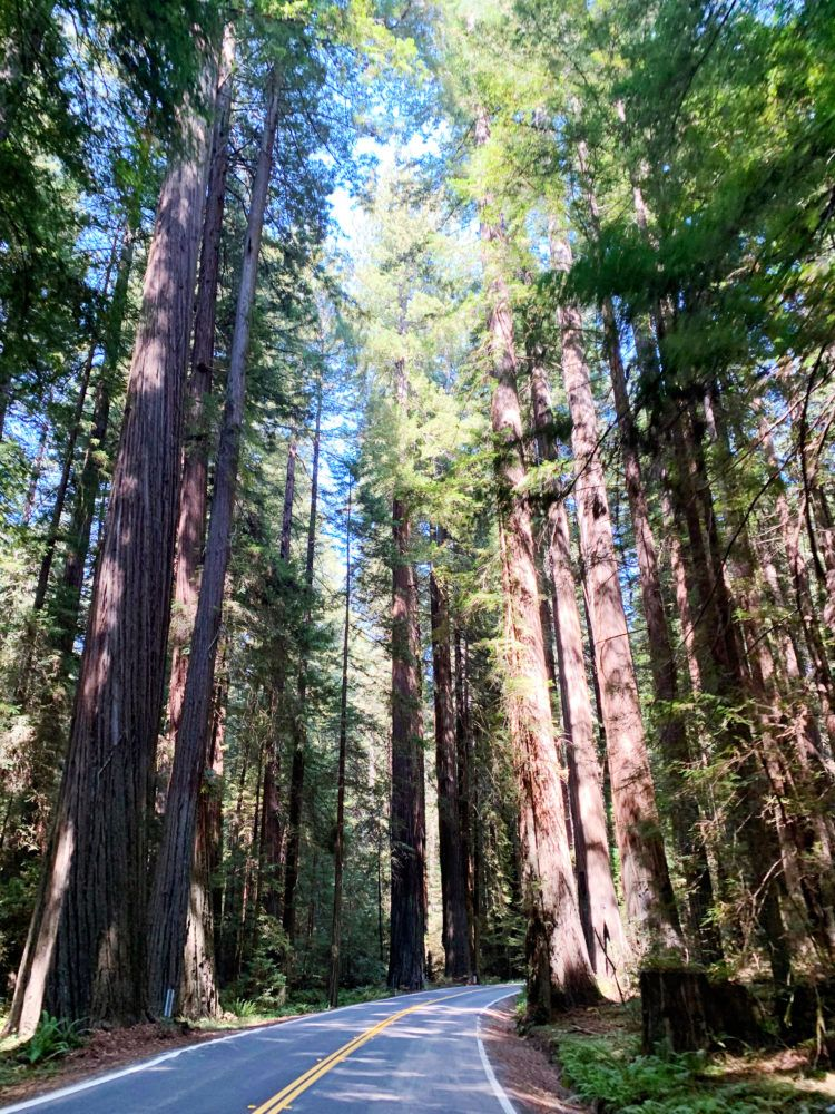 15 Best Places to See Redwoods Near San Francisco - all the popular spots plus a few others!