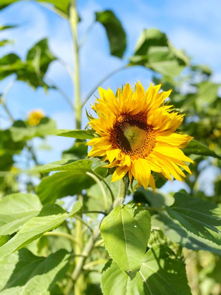 Looking for the u-pick sunflower fields in Half Moon Bay? Look no further! This post will tell you everything you need to know and more about sunflower fields in the Bay Area!