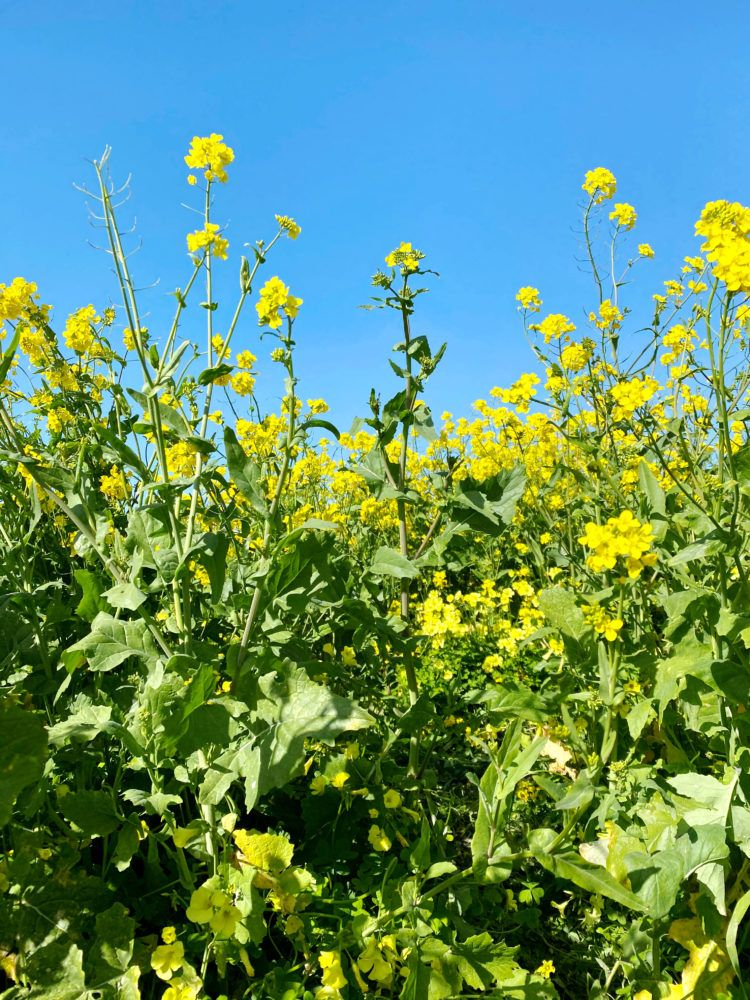 wild mustard fields in Half Moon Bay