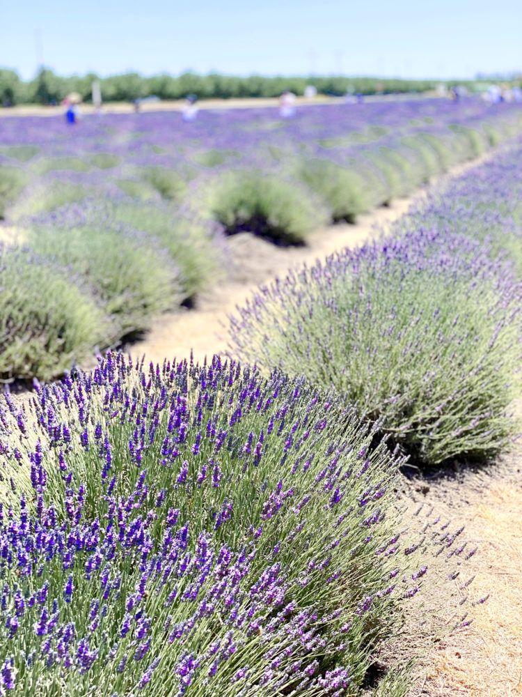 Araceli Farms best Best California Lavender Fields